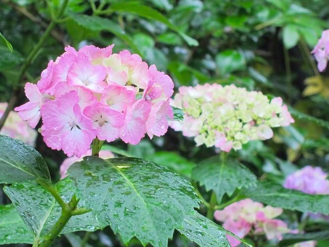 N724_pinknoajisai500.jpg